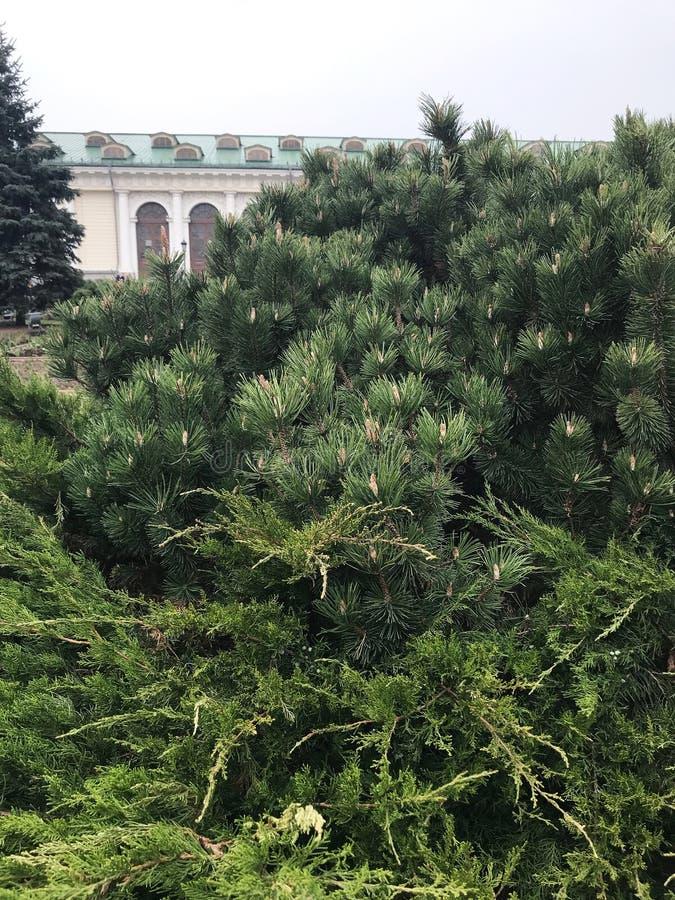 Κώνος στο δέντρο Λίγη ανάπτυξη κομματιών σε ένα δέντρο στοκ φωτογραφία με δικαίωμα ελεύθερης χρήσης