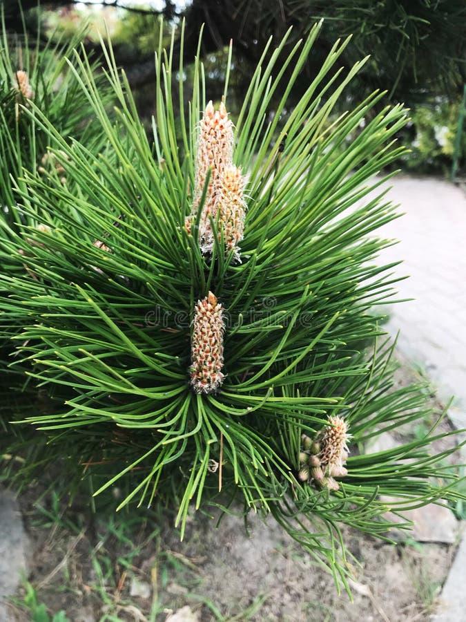 Κώνος Κώνος στο δέντρο Λίγο κομμάτι στοκ εικόνα