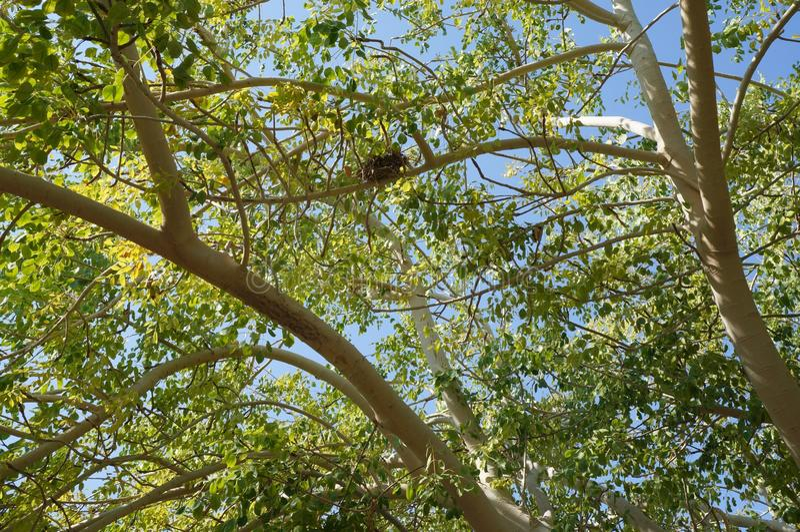 Κλάδοι δέντρων Marula στοκ εικόνα