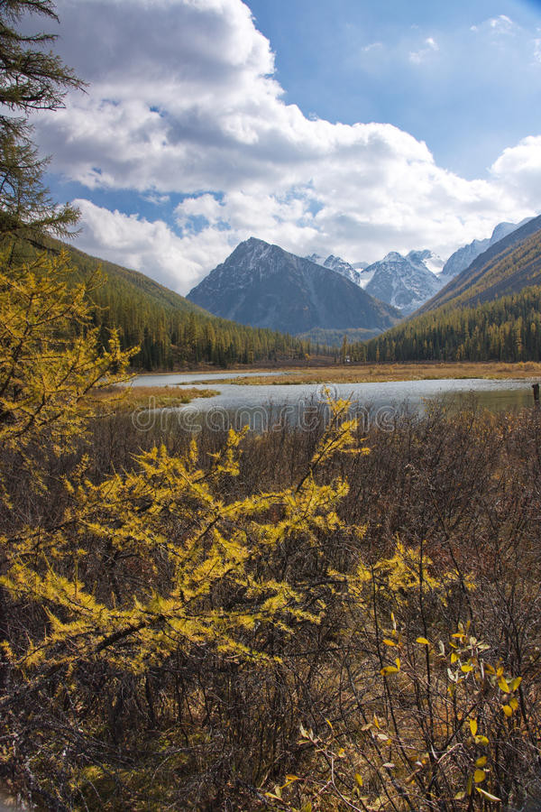 Κλάδοι ενός κίτρινου αγριόπευκου στα πλαίσια ενός τοπίου βουνών στοκ εικόνες