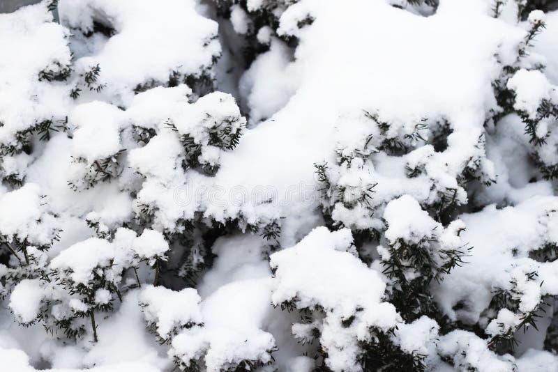 Κλάδοι ενός χριστουγεννιάτικου δέντρου που καλύπτεται με τις φυσικές ερυθρελάτες χιονιού μετά από τις χιονοπτώσεις στο πάρκο, χει στοκ φωτογραφίες με δικαίωμα ελεύθερης χρήσης