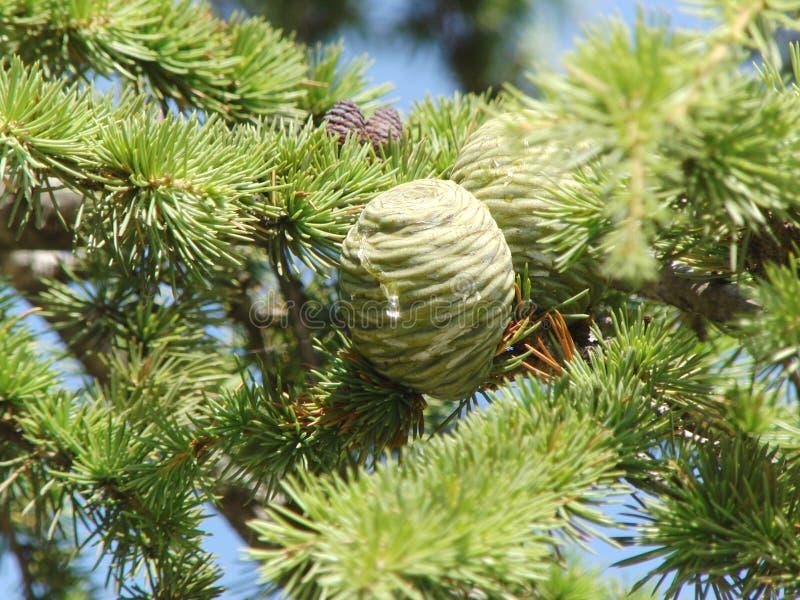 Κλάδοι του αειθαλούς δέντρου στοκ φωτογραφία με δικαίωμα ελεύθερης χρήσης
