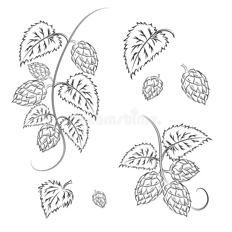 Κλάδοι των λυκίσκων με τους κώνους, που απομονώνονται σε ένα άσπρο υπόβαθρο με διανυσματική απεικόνιση