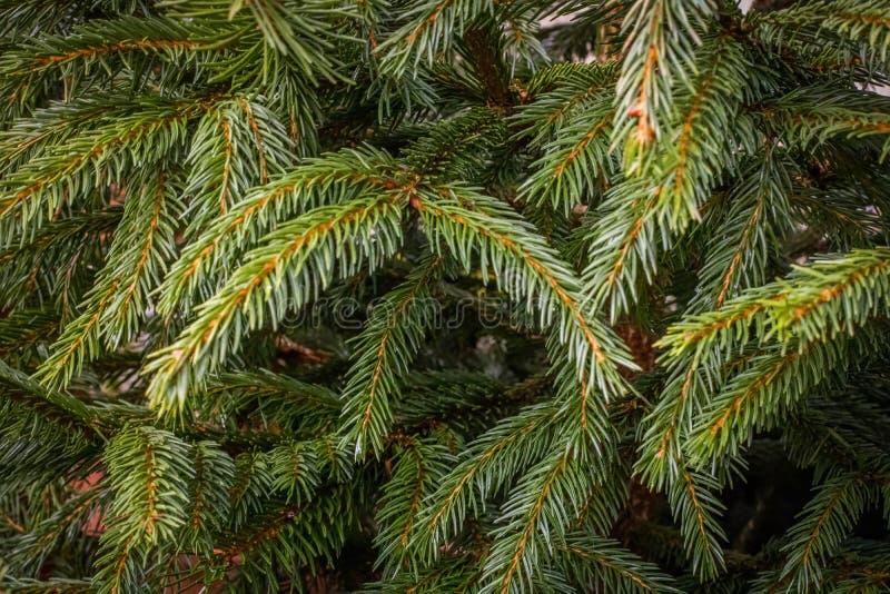 Κλάδοι χριστουγεννιάτικων δέντρων στοκ φωτογραφία με δικαίωμα ελεύθερης χρήσης