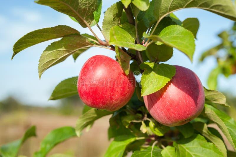 Κλάδος δέντρων της Apple με δύο κόκκινα μήλα σε αγροτικό στοκ φωτογραφίες με δικαίωμα ελεύθερης χρήσης