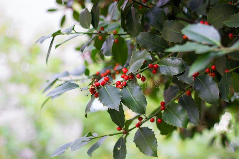Κλάδος δέντρων της Holly στοκ εικόνες