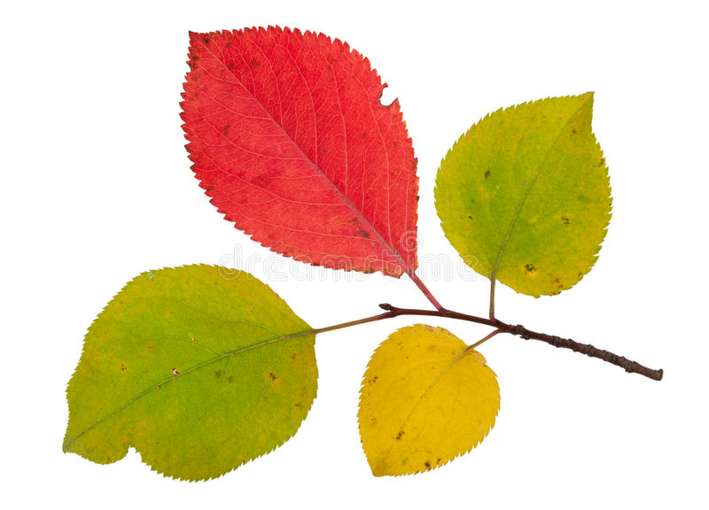 Κλάδος ενός δέντρου μηλιάς με τα φύλλα φθινοπώρου στοκ εικόνες με δικαίωμα ελεύθερης χρήσης