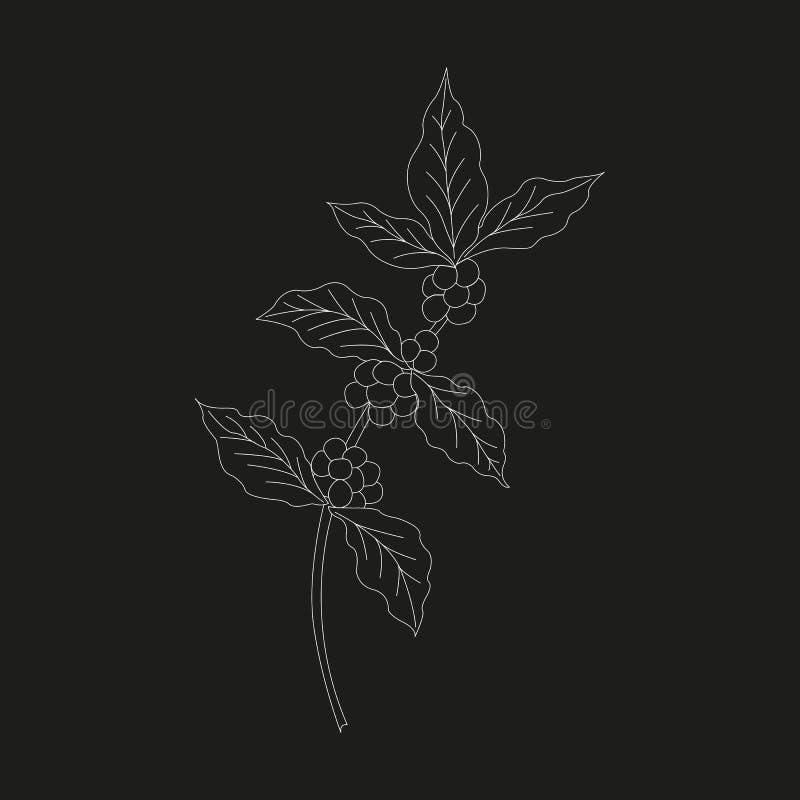 Κλάδος καφέ, φυτό με το φύλλο, μούρο 2 στοκ εικόνες
