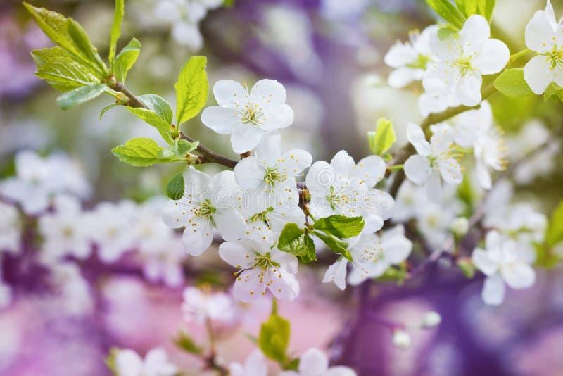 Κλάδος κερασιών ανθών, όμορφα λουλούδια άνοιξη για το εκλεκτής ποιότητας υπόβαθρο στοκ εικόνες