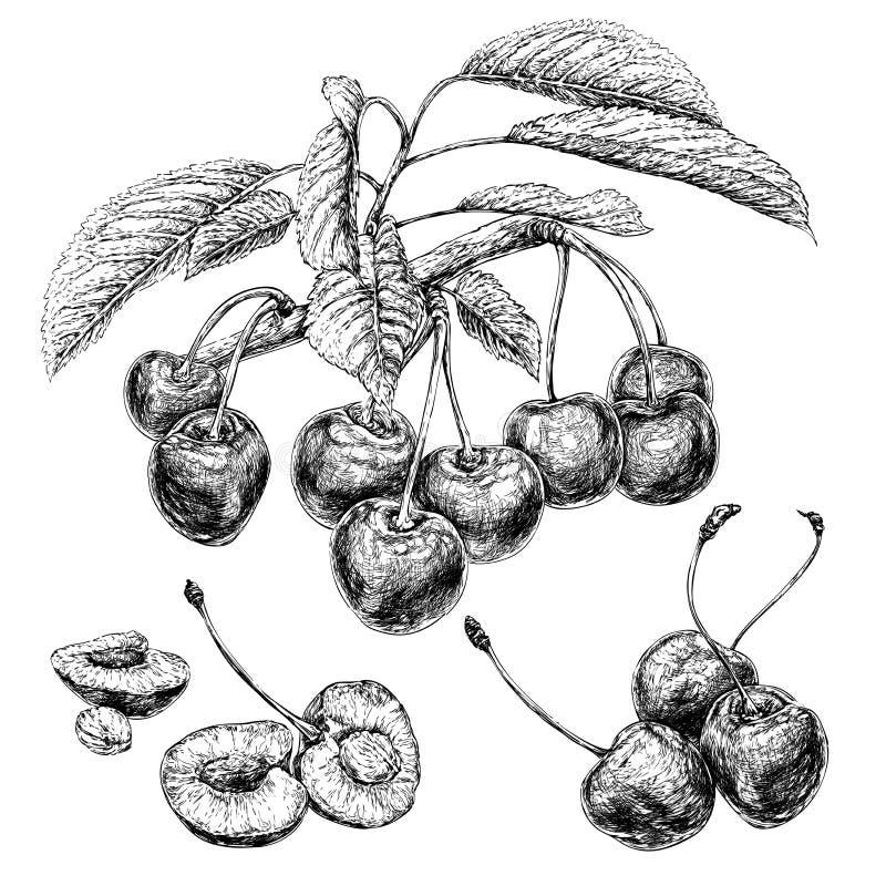 Κλάδος κερασιών με τα φύλλα Συρμένο χέρι βοτανικό σύνολο με τα μούρα, τους κλάδους και τα φύλλα ελεύθερη απεικόνιση δικαιώματος