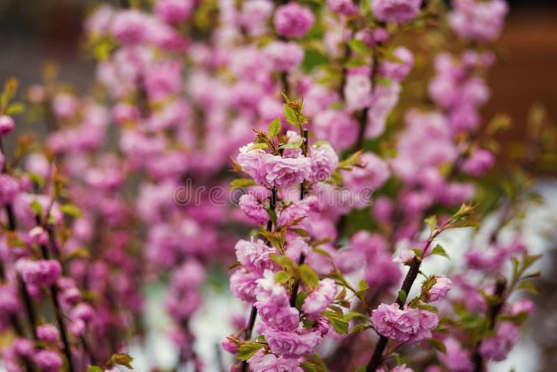 Κλάδος με τα φωτεινά όμορφα ρόδινα λουλούδια του δέντρου κραταίγου, ροζ στοκ φωτογραφίες