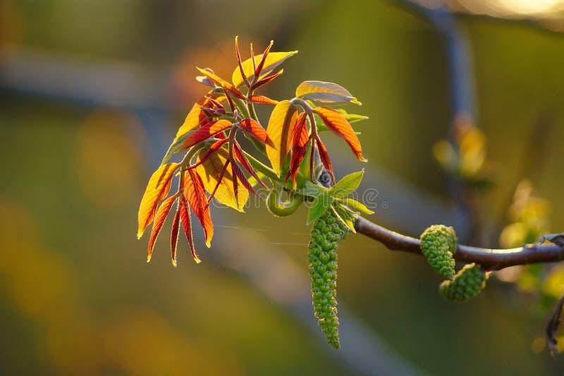 Κλάδος ξύλων καρυδιάς με το αρσενικό λουλούδι στοκ εικόνα με δικαίωμα ελεύθερης χρήσης