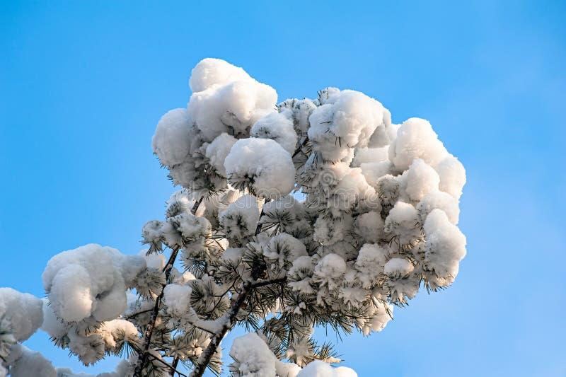 Κλάδος πεύκων που καλύπτεται από το χιόνι ενάντια στο μπλε ουρανό στοκ εικόνες με δικαίωμα ελεύθερης χρήσης