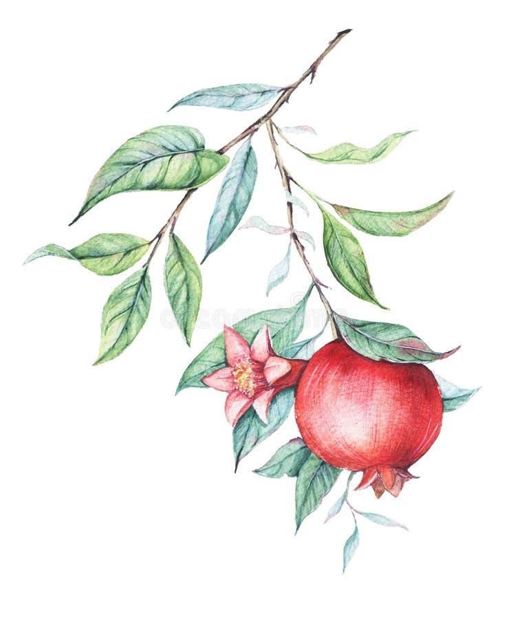 Κλάδος ροδιών Watercolor (γρανάτης) ελεύθερη απεικόνιση δικαιώματος