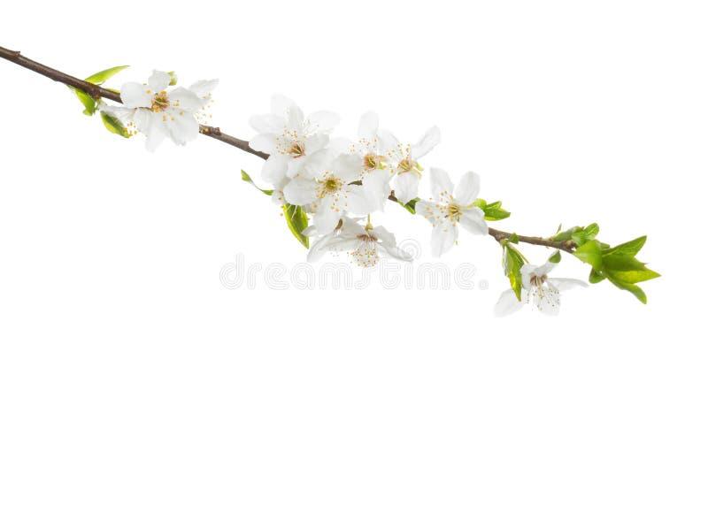 Κλάδος στο άνθος που απομονώνεται στο άσπρο υπόβαθρο στοκ φωτογραφίες