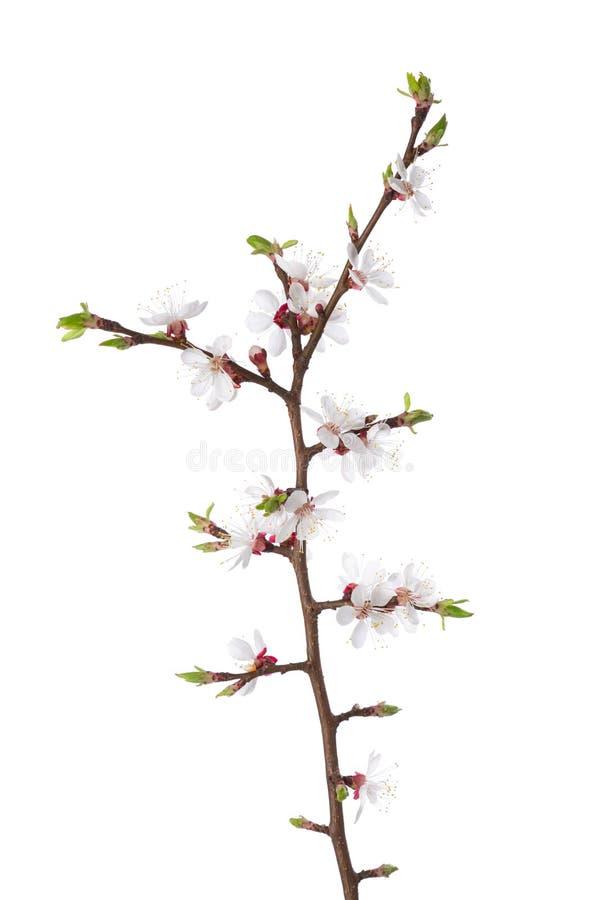 Κλάδος στο άνθος που απομονώνεται στο λευκό στοκ φωτογραφία με δικαίωμα ελεύθερης χρήσης