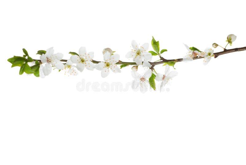 Κλάδος στο άνθος που απομονώνεται στο λευκό στοκ φωτογραφίες με δικαίωμα ελεύθερης χρήσης