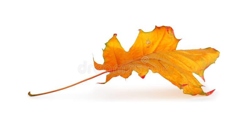 Κλάδος σφενδάμνου φθινοπώρου με τα φύλλα που απομονώνονται στοκ φωτογραφία