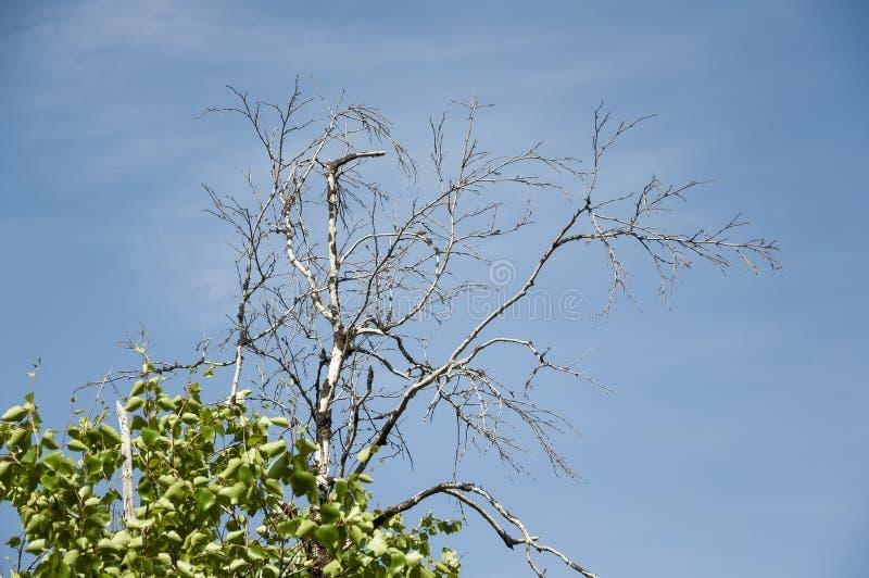 Κλάδος της σημύδας με τα φύλλα και χωρίς στο υπόβαθρο με το μπλε ουρανό Αντίθετα θερινής αντίθεσης στοκ εικόνες