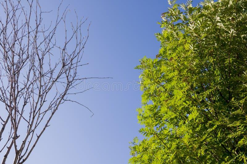 Κλάδος της σημύδας με τα φύλλα και χωρίς στο υπόβαθρο με το μπλε ουρανό Αντίθετα θερινής αντίθεσης στοκ εικόνες με δικαίωμα ελεύθερης χρήσης