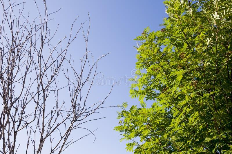 Κλάδος της σημύδας με τα φύλλα και χωρίς στο υπόβαθρο με το μπλε ουρανό Αντίθετα θερινής αντίθεσης στοκ φωτογραφία με δικαίωμα ελεύθερης χρήσης