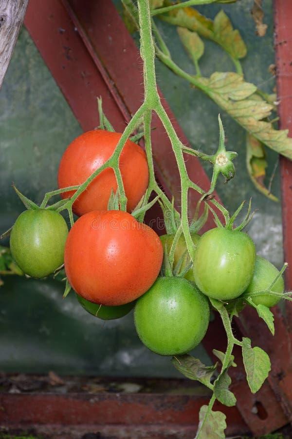 Κλάδος της ώριμης κόκκινης και πράσινης ωρίμανσης γύρω από τις ντομάτες στην κινηματογράφηση σε πρώτο πλάνο του Μπους στο θερμοκή στοκ φωτογραφία με δικαίωμα ελεύθερης χρήσης