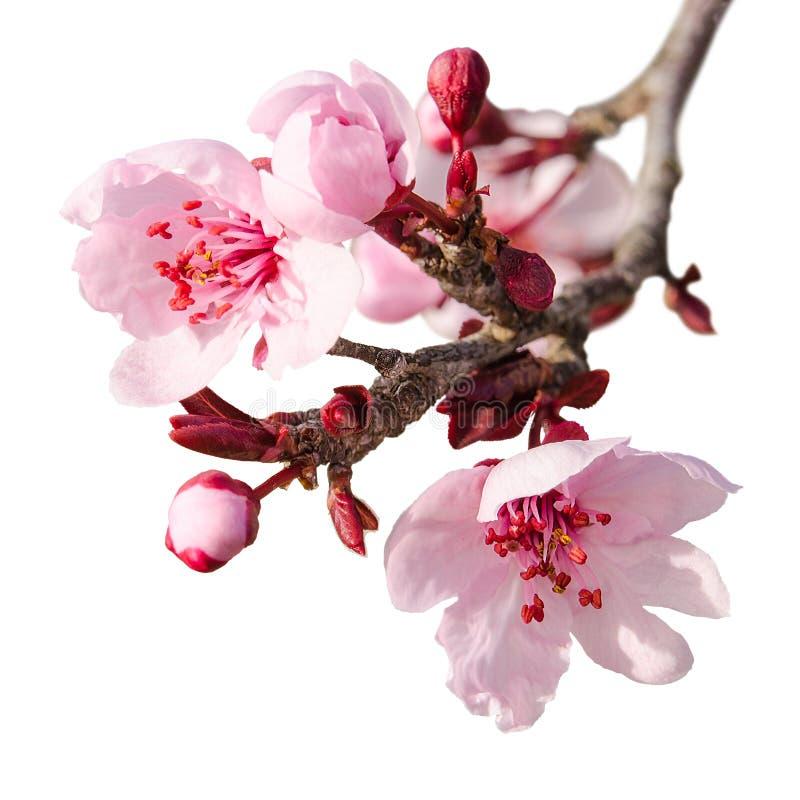 Κλάδος του άνθους δαμάσκηνων άνοιξη με τα ρόδινα λουλούδια στοκ εικόνες