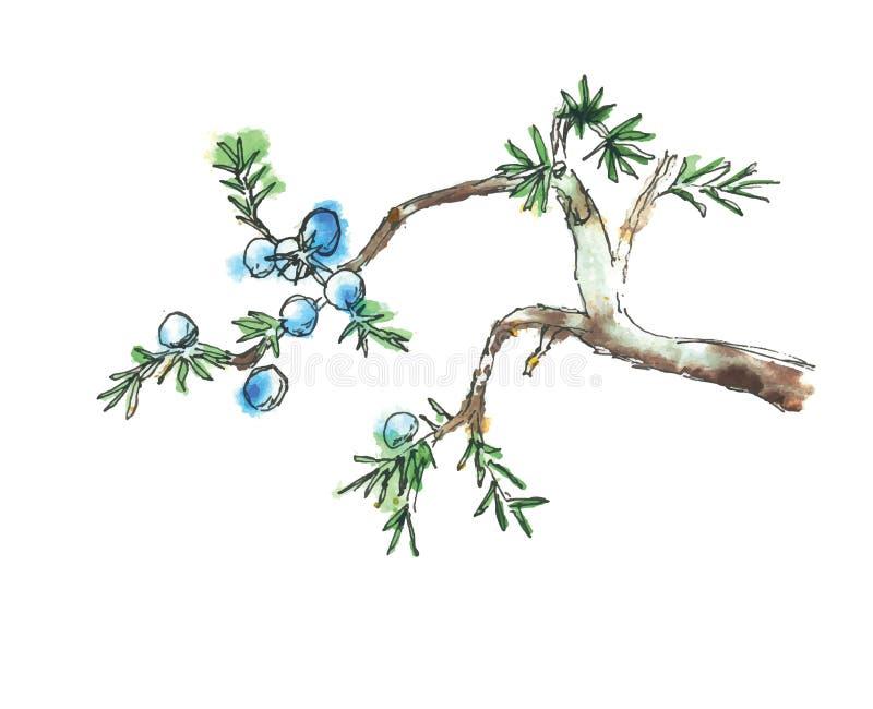 Κλάδος του δέντρου ιουνιπέρων, διανυσματική απεικόνιση απεικόνιση αποθεμάτων