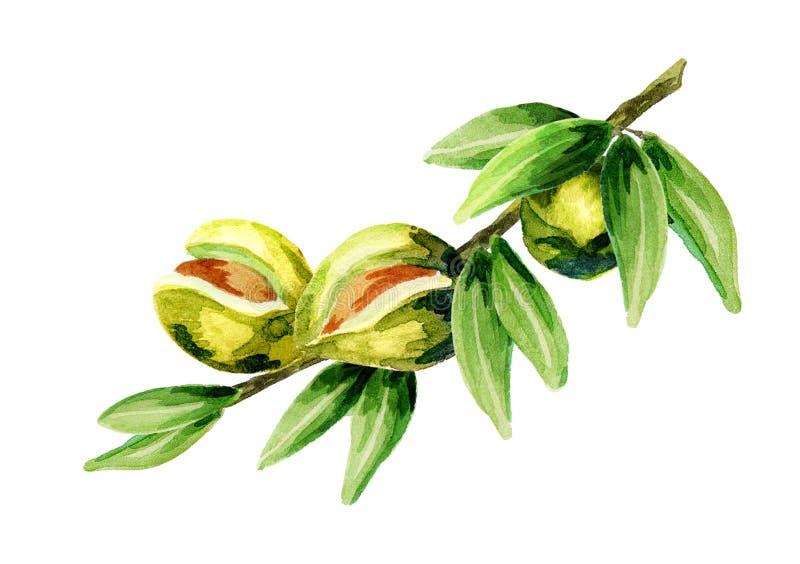 Κλάδος του argan δέντρου ελεύθερη απεικόνιση δικαιώματος