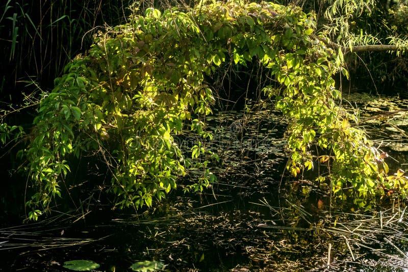 Κλάδος των άγριων σταφυλιών πέρα από το νερό στοκ φωτογραφία με δικαίωμα ελεύθερης χρήσης