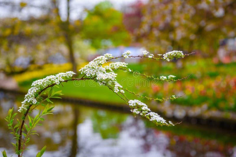 Κλάδος των άσπρων λουλουδιών με το θολωμένο υπόβαθρο στο πάρκο Keukenhof, Lisse, Ολλανδία, Κάτω Χώρες στοκ εικόνα με δικαίωμα ελεύθερης χρήσης