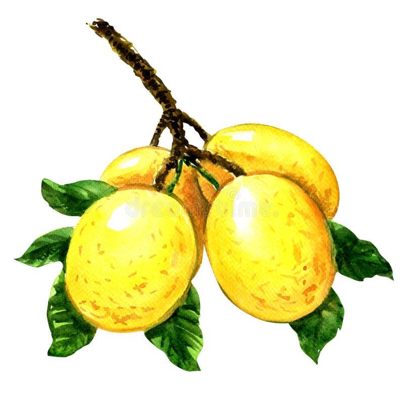 Κλάδος των φρούτων marula με τα φύλλα που απομονώνονται, απεικόνιση watercolor απεικόνιση αποθεμάτων