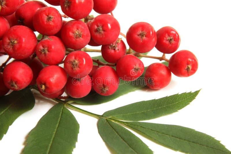 Κλάδος ashberry με το πράσινο φύλλο στοκ φωτογραφία με δικαίωμα ελεύθερης χρήσης