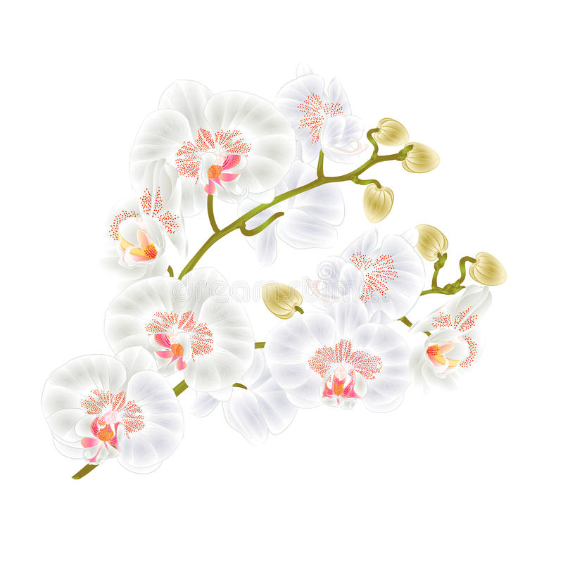 Κλάδων ορχιδεών τροπικές εγκαταστάσεις λουλουδιών Phalaenopsis οι άσπρες προέρχονται και η εκλεκτής ποιότητας διανυσματική βοτανι ελεύθερη απεικόνιση δικαιώματος