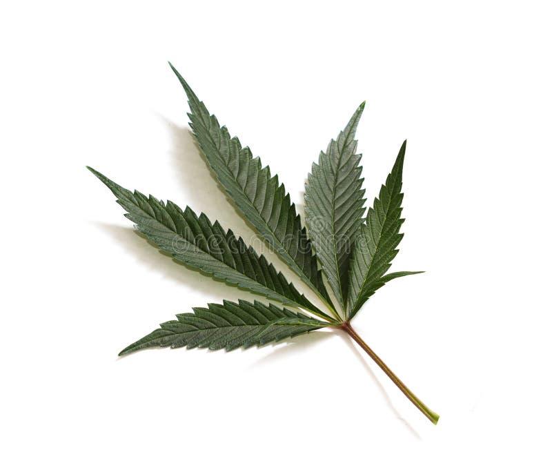 Κλασικό φύλλο μαριχουάνα στοκ φωτογραφία με δικαίωμα ελεύθερης χρήσης