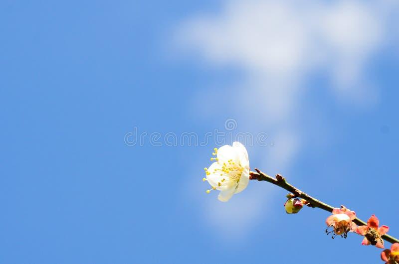 Κλείνω-επάνω στα άνθη βερίκοκων την άνοιξη στοκ εικόνες με δικαίωμα ελεύθερης χρήσης
