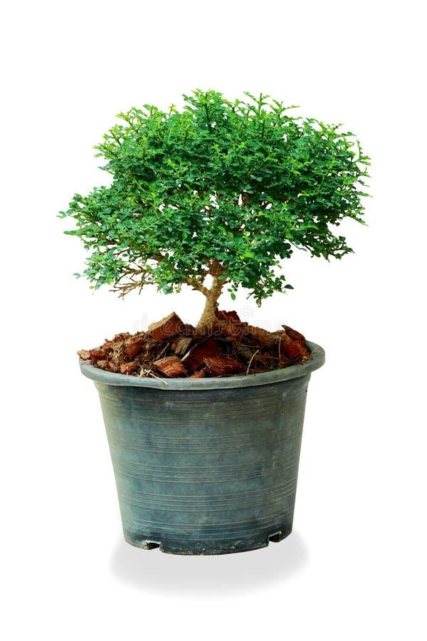 Κλείστε επάνω ένα δέντρο flowerpot που απομονώνεται στο άσπρο υπόβαθρο στοκ φωτογραφίες με δικαίωμα ελεύθερης χρήσης