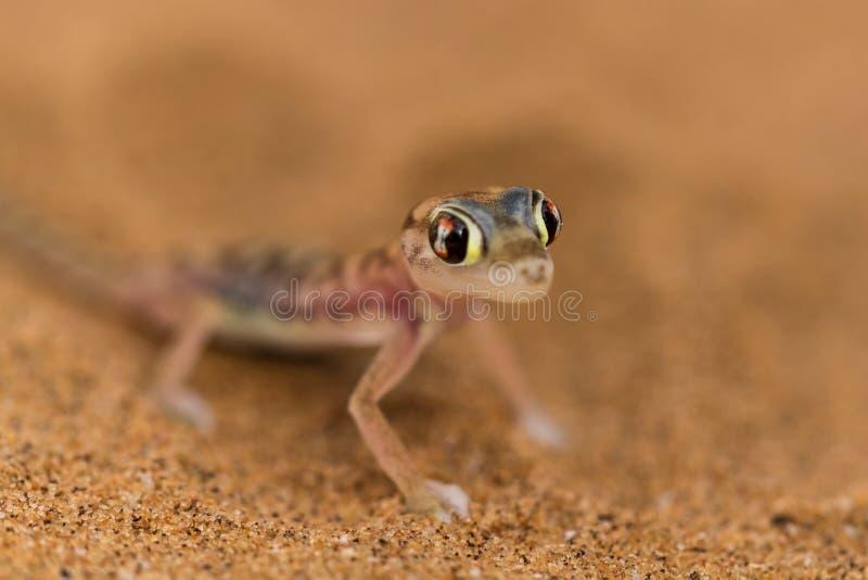 Κλείστε επάνω ένα gecko ερήμων στοκ φωτογραφία