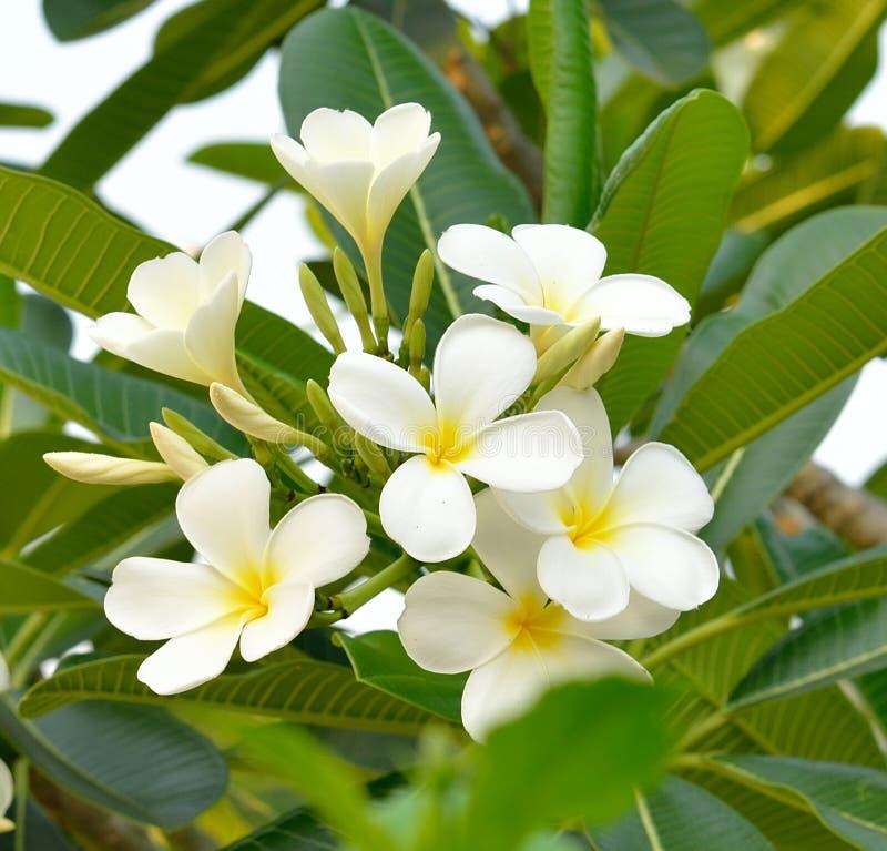 Κλείστε επάνω ενός άσπρου λουλουδιού frangipani στοκ εικόνα