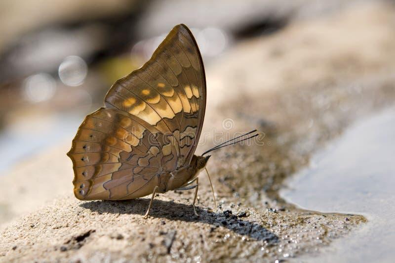 Κλείστε επάνω καστανόξανθο να μαλάξει Rajah στη φύση στοκ εικόνα