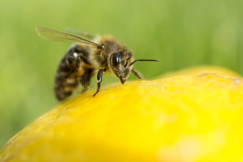 Κλείστε επάνω μιας μέλισσας επιθεωρώντας ένα λεμόνι που απομονώνεται στοκ εικόνες