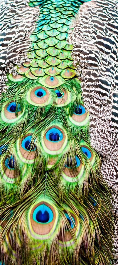 Κλείστε επάνω μιας χρωματισμένης το s ουράς peacock ` στοκ εικόνες