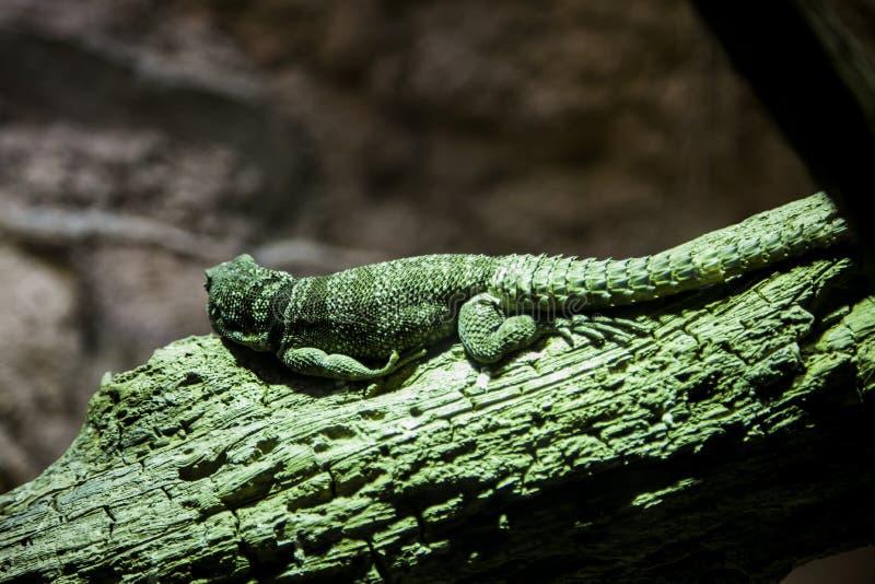 Κλείστε επάνω οπισθοσκόπο πράσινο Iguana στον κλάδο στο ζωολογικό κήπο Bronx στοκ εικόνες