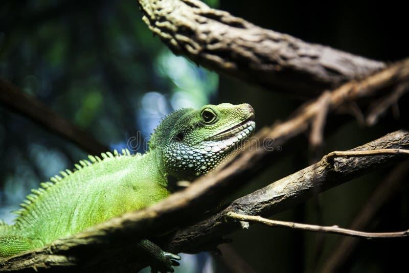 Κλείστε επάνω πράσινο Iguana στον κλάδο στο ζωολογικό κήπο Bronx στοκ εικόνες