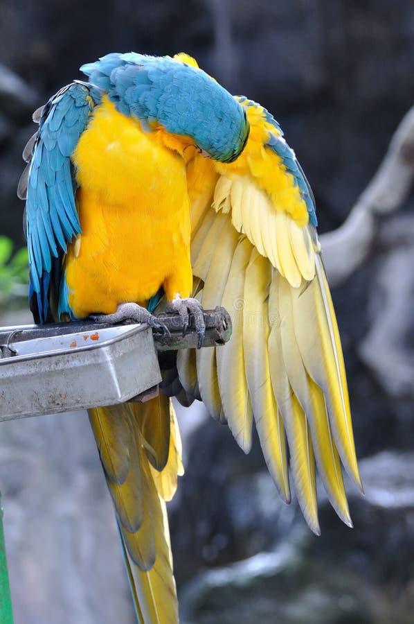 Κλείστε επάνω τα όμορφα καθαρίζοντας φτερά πουλιών macaw στοκ φωτογραφίες με δικαίωμα ελεύθερης χρήσης