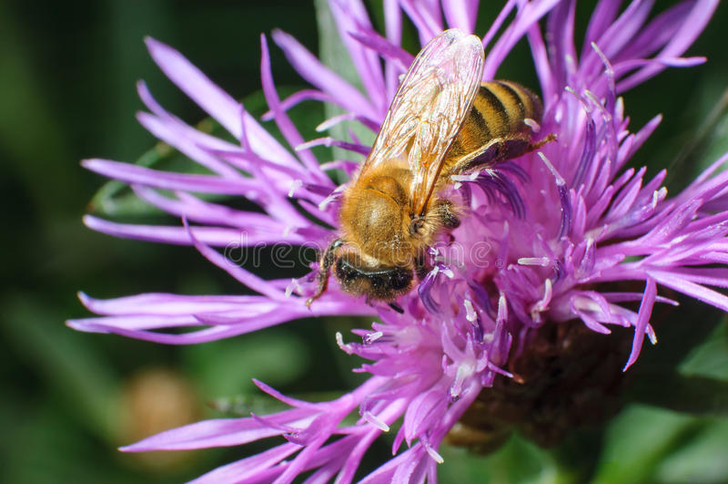 Κλείστε επάνω την άποψη μιας φορτωμένης γύρη μέλισσας μελιού που προμηθεύει με ζωοτροφές σε ένα ιώδες Δ στοκ φωτογραφία με δικαίωμα ελεύθερης χρήσης