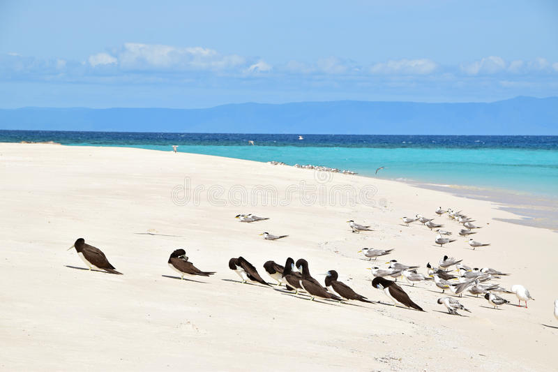 Κλείστε επάνω την άποψη της ομάδας καφετιού γκαφατζή & λοφιοφόρων πουλιών στερνών στην κοραλλιογενή νήσο Michaelmas με την όμορφη στοκ φωτογραφίες με δικαίωμα ελεύθερης χρήσης