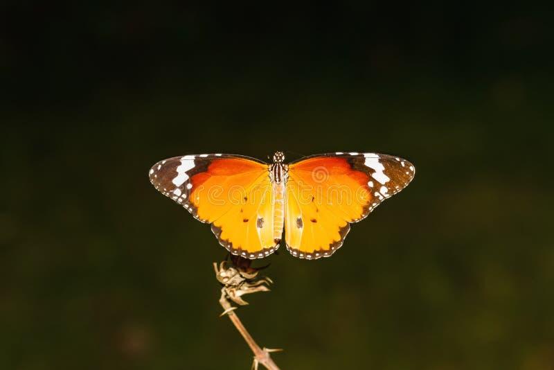 Κλείστε επάνω την κοινή πεταλούδα τιγρών (genutia Danaus) στον κλάδο στοκ εικόνα