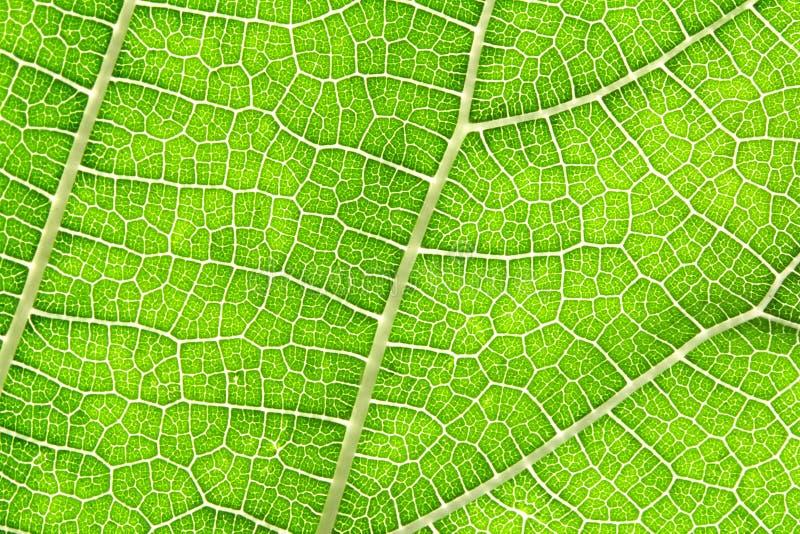 Κλείστε επάνω την πράσινη σύσταση φύλλων ως πράσινη περίληψη φύσης στοκ εικόνες με δικαίωμα ελεύθερης χρήσης