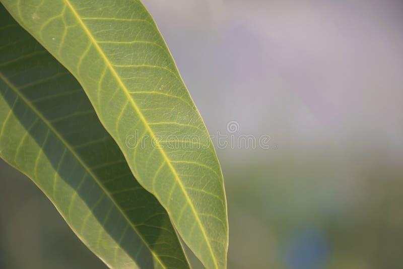 Κλείστε επάνω την πράσινη σύσταση φύλλων στοκ εικόνα με δικαίωμα ελεύθερης χρήσης